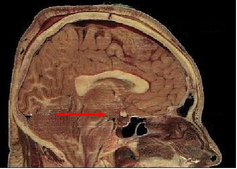 Pozitionarea hipotalamusului (fotio: Wiki)